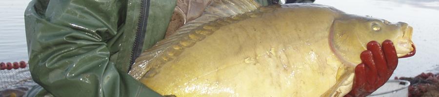 les grosses carpes de la pisciculture Beaume