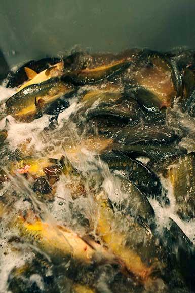 poissons dans bassins de stockage